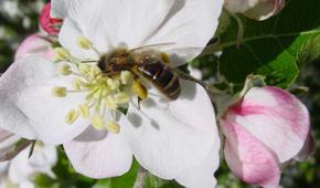 Rettet die einheimische Dunkle Biene